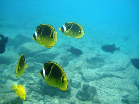 Yellow Tang and Racoon fish in Kona