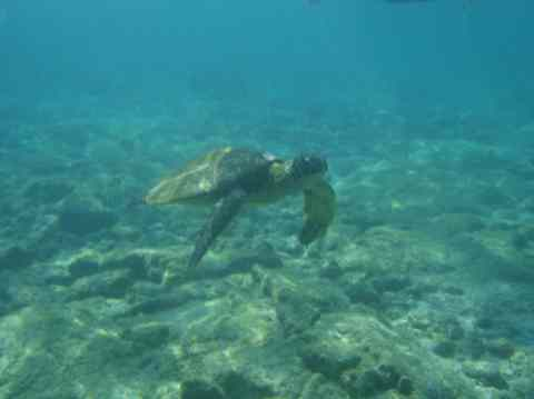 Turtle at Kahalu'lu beach in Kona
