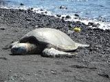 Hawaii turtle on sand
